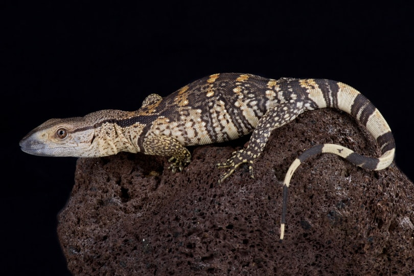 white throated monitor lizard in rock_reptiles4all_Shutterstock