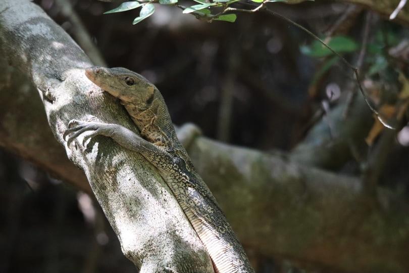 white throated monitor lizard in wild_Pixabay