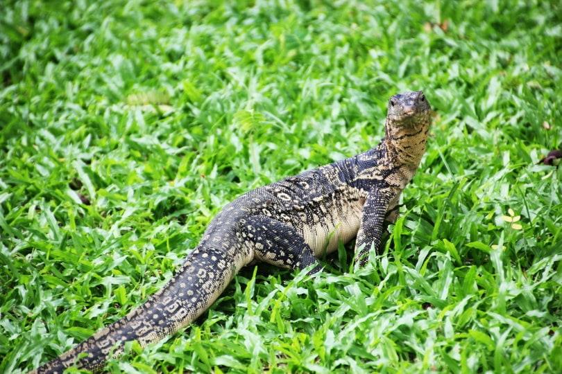 white throated monitor lizard_Piqsels