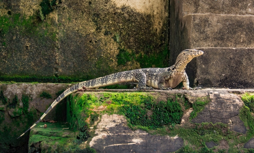 white throated monitor lizard_Pixabay