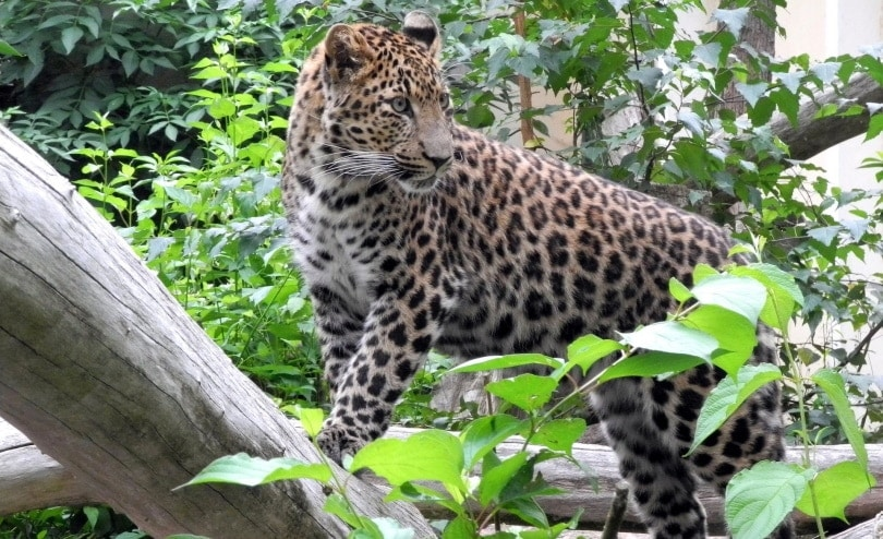 wild cat_Margitta Wünsche_Pixabay