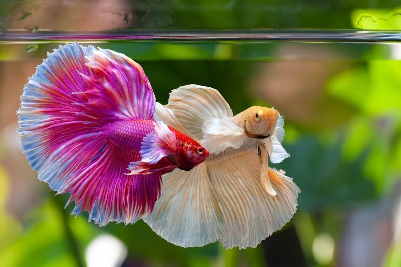 2 betta fish in tank