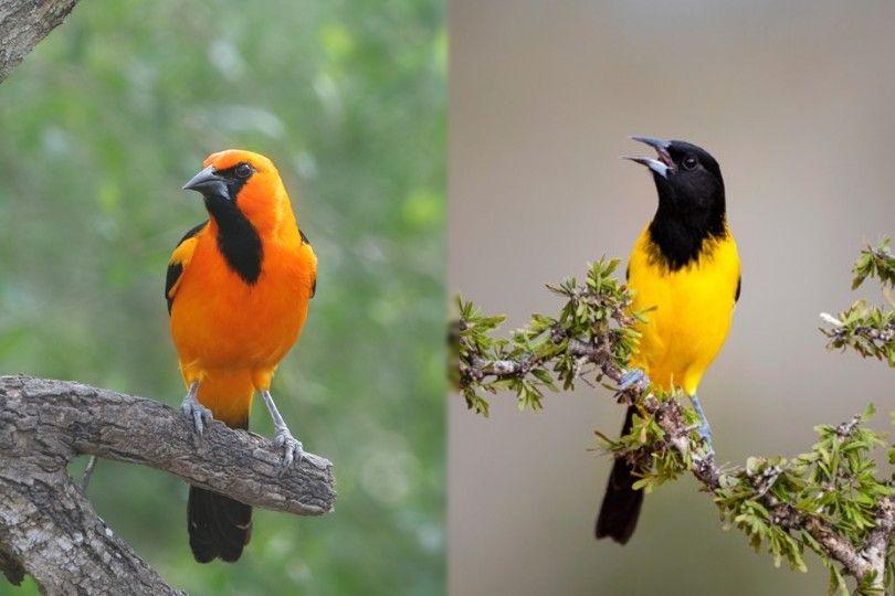 Altamira Oriole and Audubon's Oriole