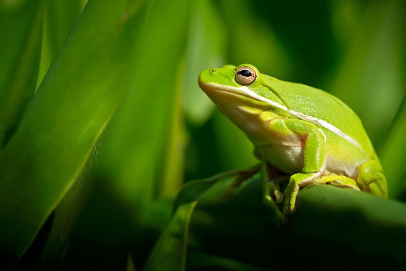American green tree frog on green leaves