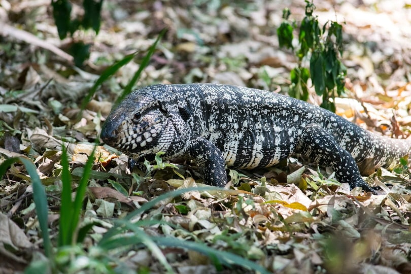Argentine black and white tegu in the wild