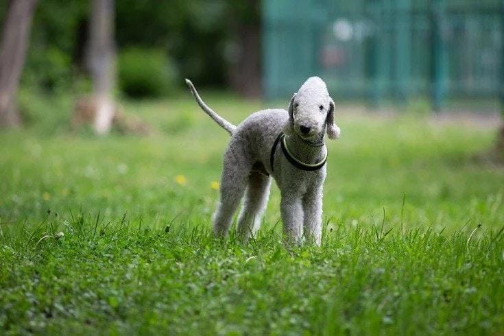 Bedlington Terrier standing on grass