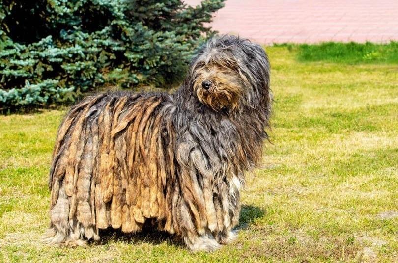 Bergamasco Sheepdog_Shutterstock_volofin