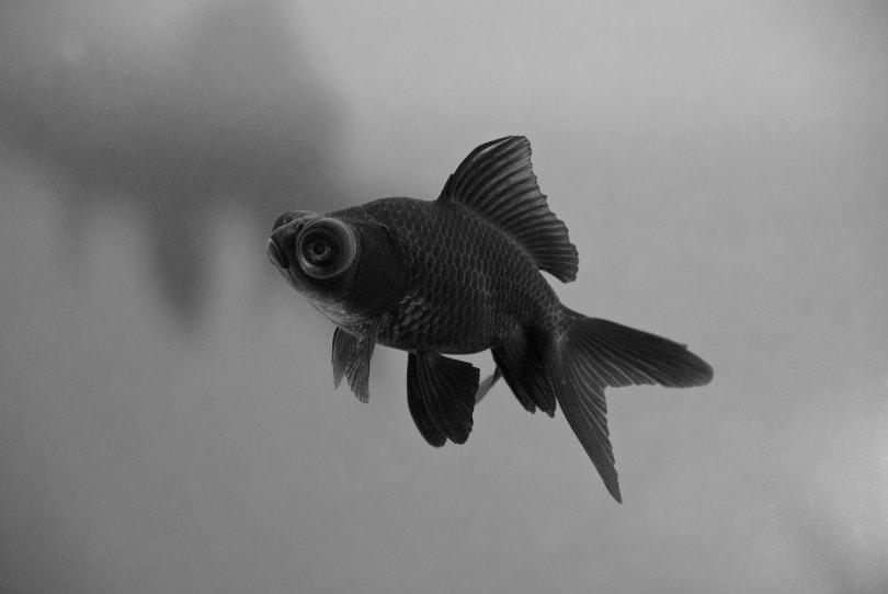 Black Moore Goldfish