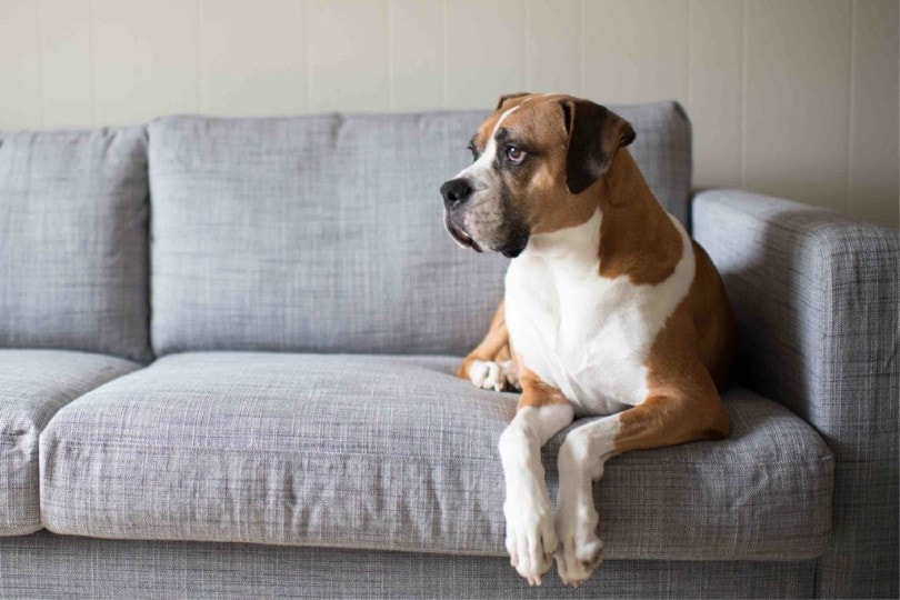 Boxer Basset sitting on couch