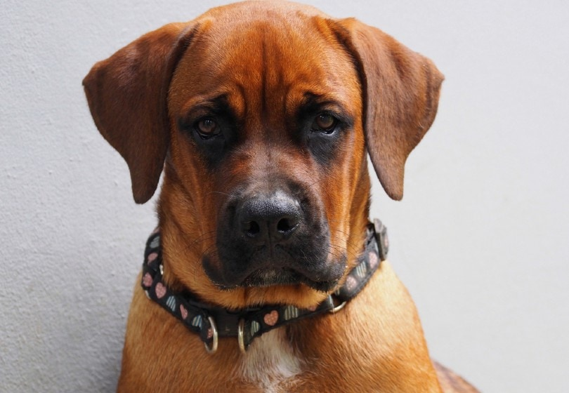 Boxer and Rottweiler Mix