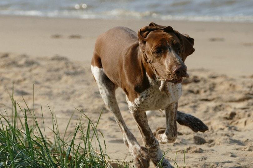 Bracco Italiano running at the beach