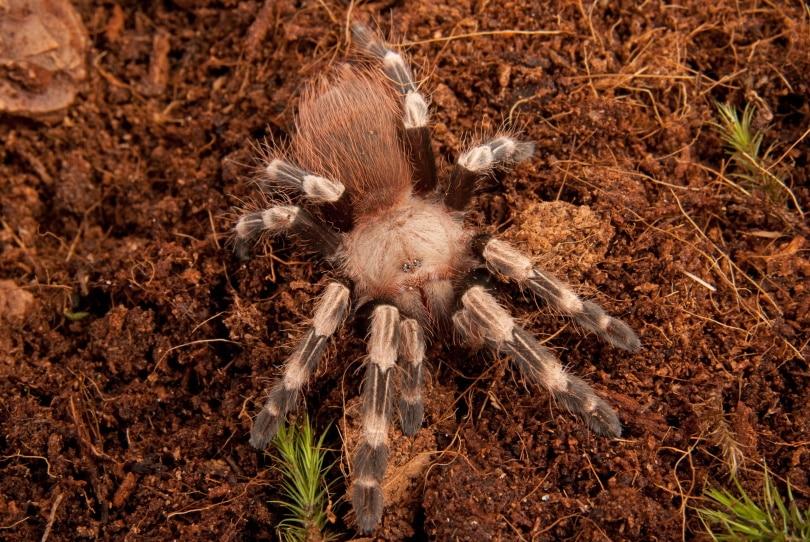 Brazilian red and white tarantula