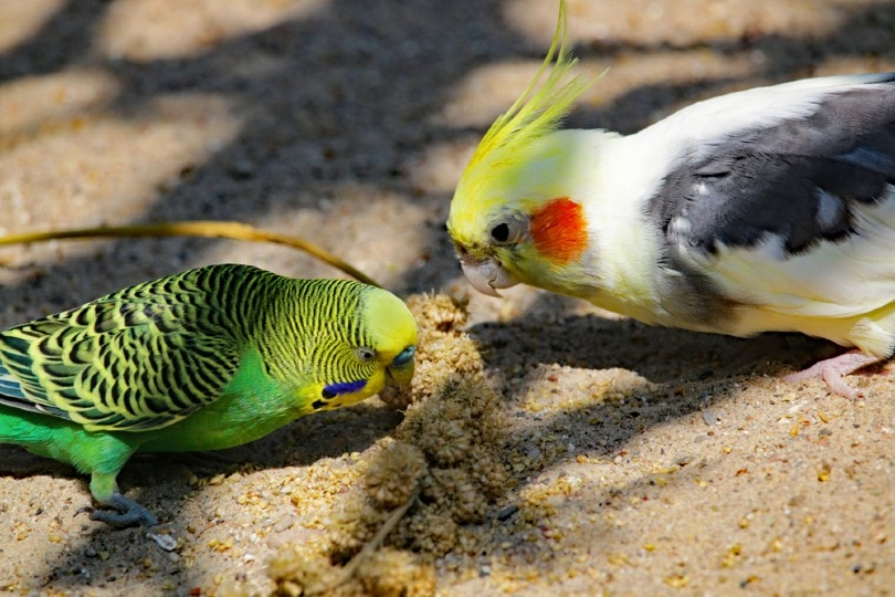 Budgie and cockatiel eating together