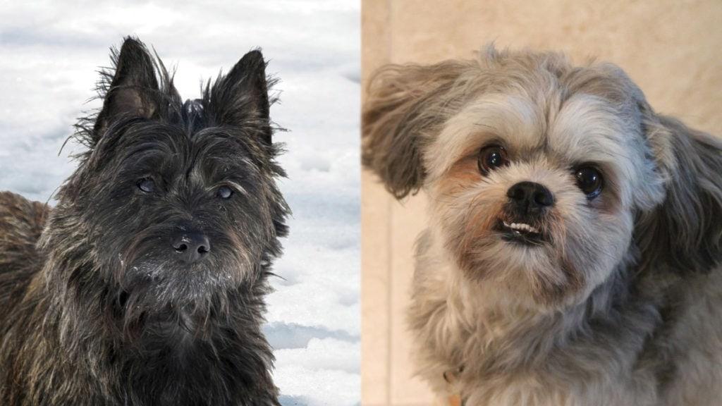 Cairn Tzu - Cairn Terrier and Shih Tzu Mix