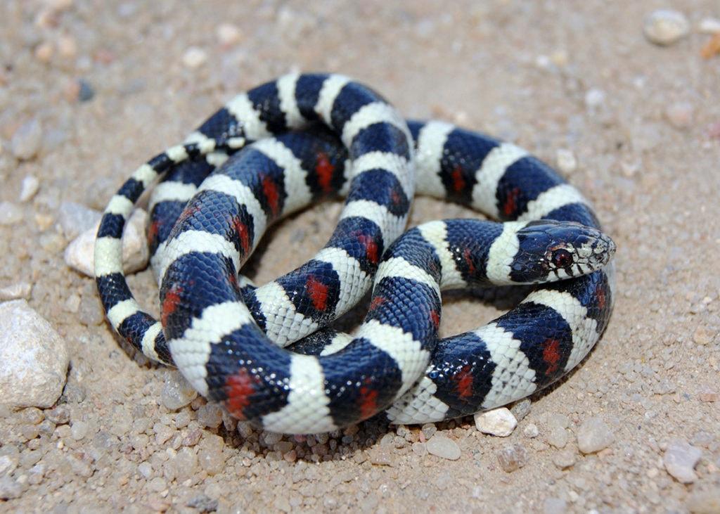 Central Plains Milk Snake