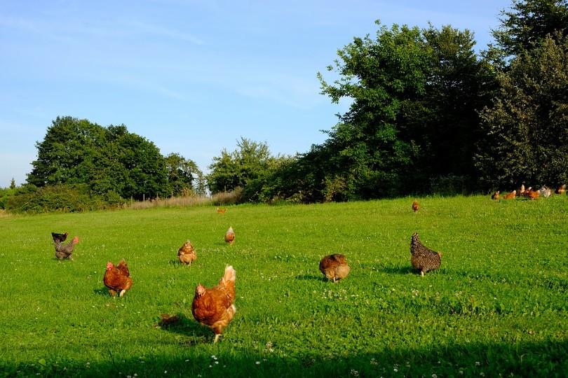 Chicken Pecking
