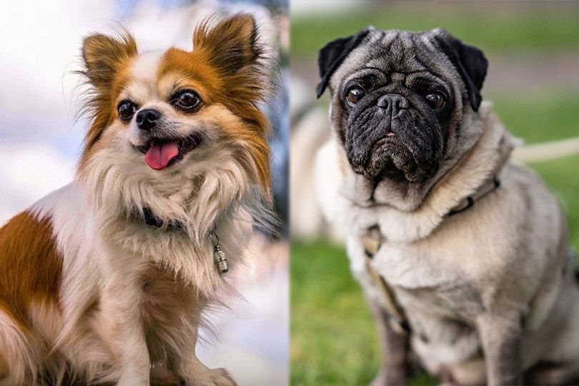 Chihuahua and Pug