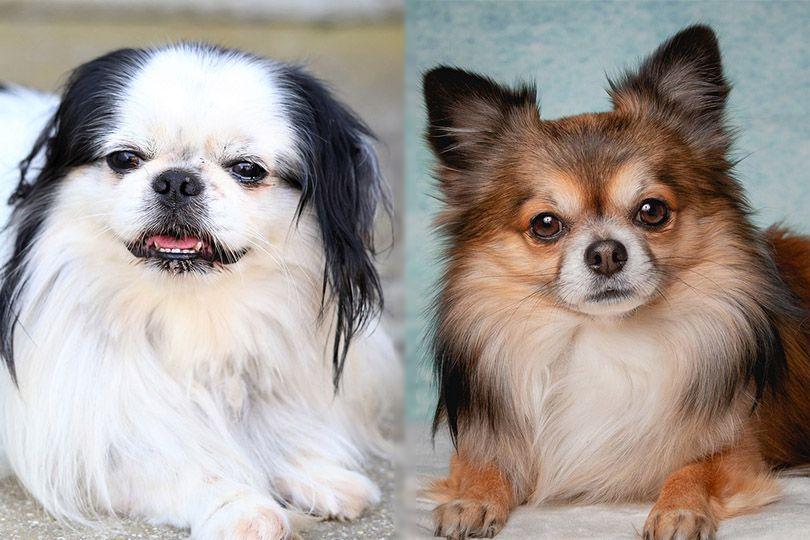 Chin-Wa (Japanese Chin and Chihuahua)