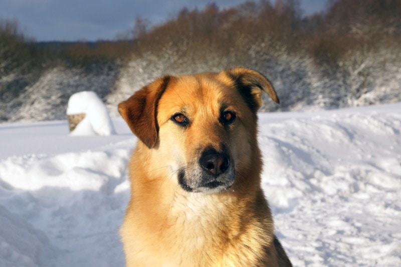 Chinook dog in snow