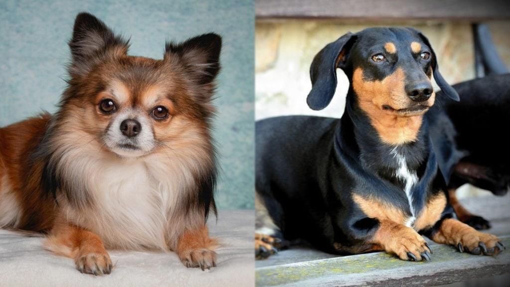 Chiweenie - Chihuahua and Dachshund Mix