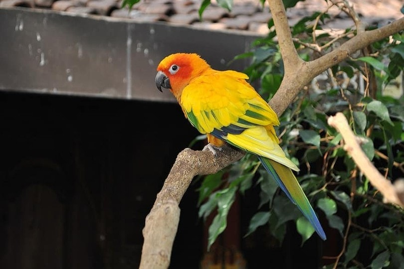Conure on tree branch