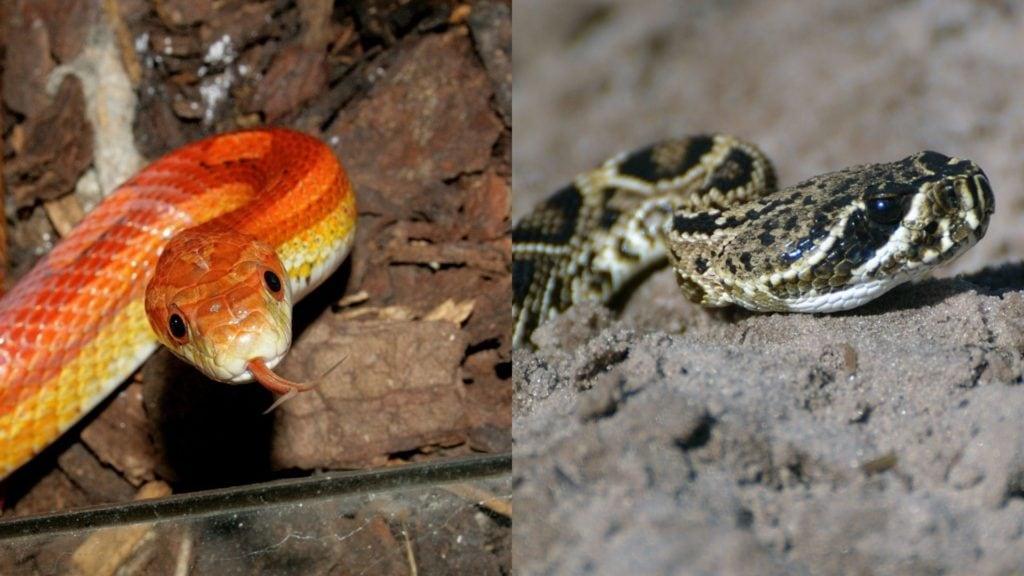 Corn Snake vs. Copperhead - VC