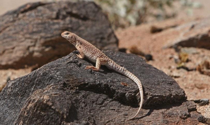 Desert Iguana on rock