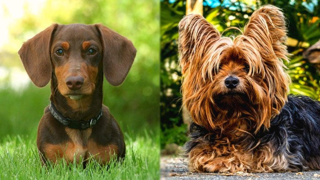 Dorkie - Dachshund and Yorkshire Terrier Mix
