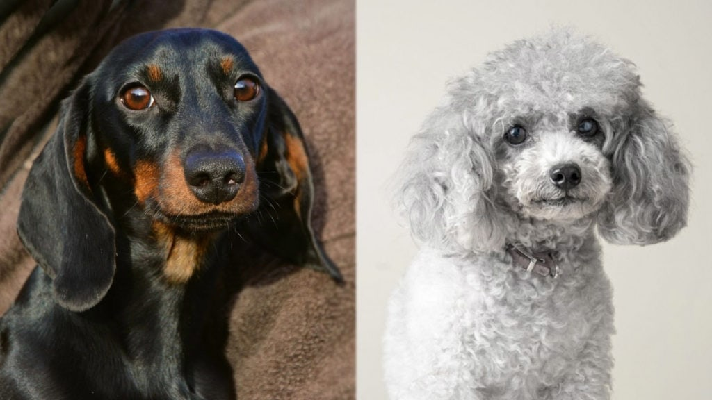 Doxiepoo - Dachshund and Poodle Mix