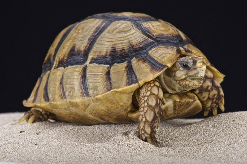 Egyptian Tortoise on sand