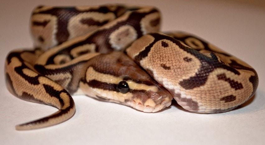 Fire Ball Python Morph Close up