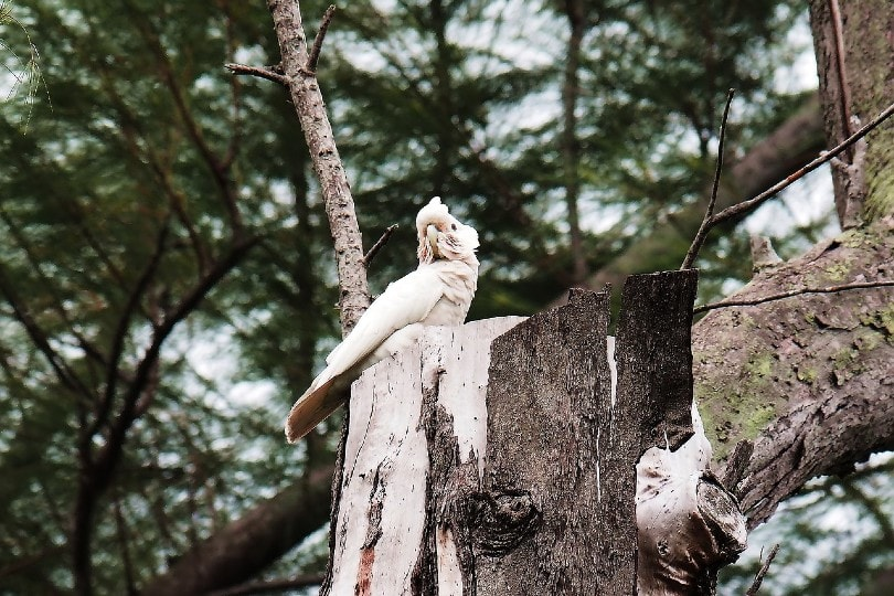 Goffin's Cockatoo on log