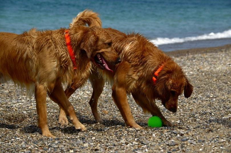 Golden Irish dogs at the beach