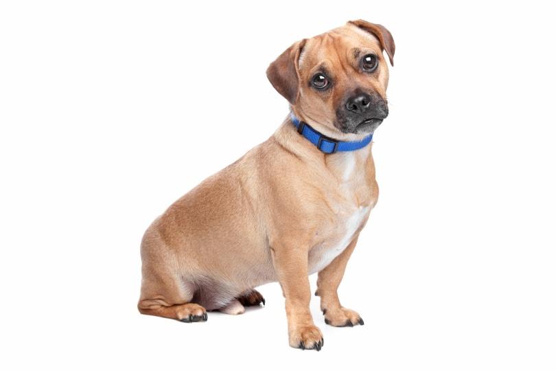 Jug dog mix breed_Erik Lam_Shutterstock