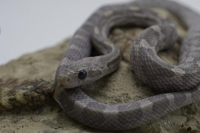 Lavender Corn Snake on a rock