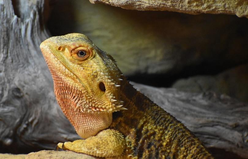 Leatherback bearded dragon (pogona) in tank