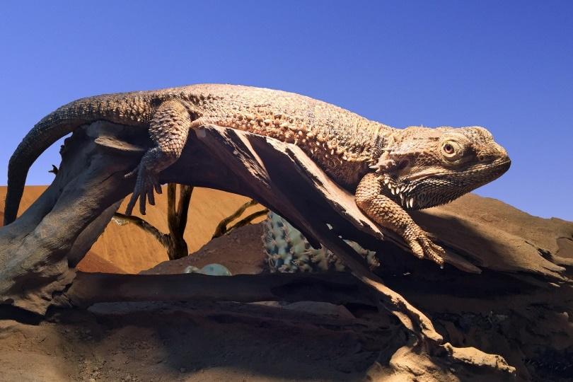 Leatherback bearded dragon