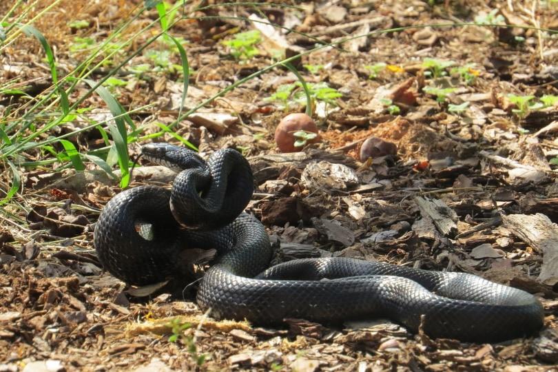 Mexican black kingsnake in wild