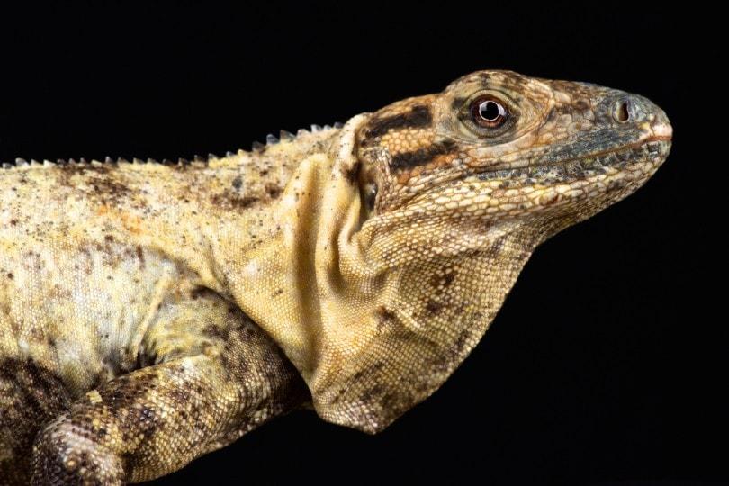 Northeastern Spiny Tail Iguana