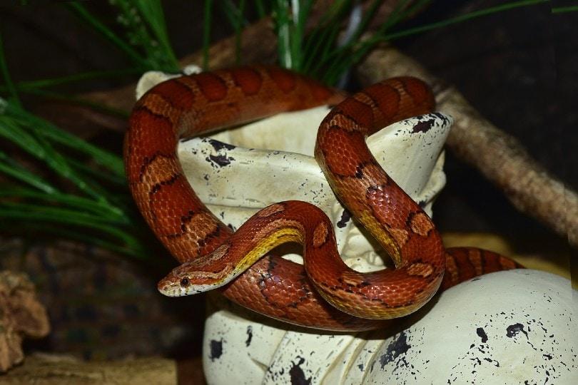 Okeetee Corn Snake in tank