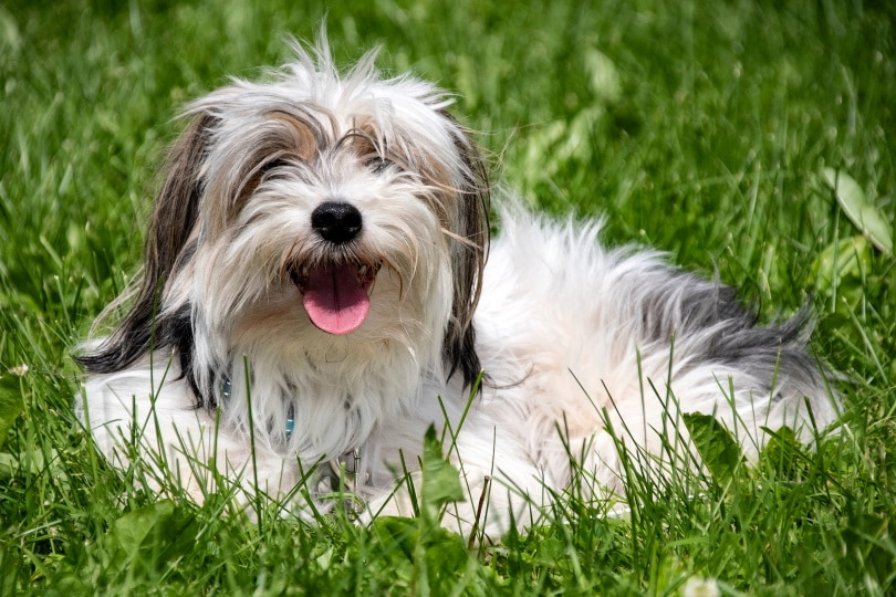 Parti yorkies dog in grass