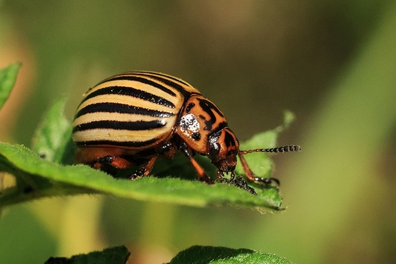 Potato Beetles