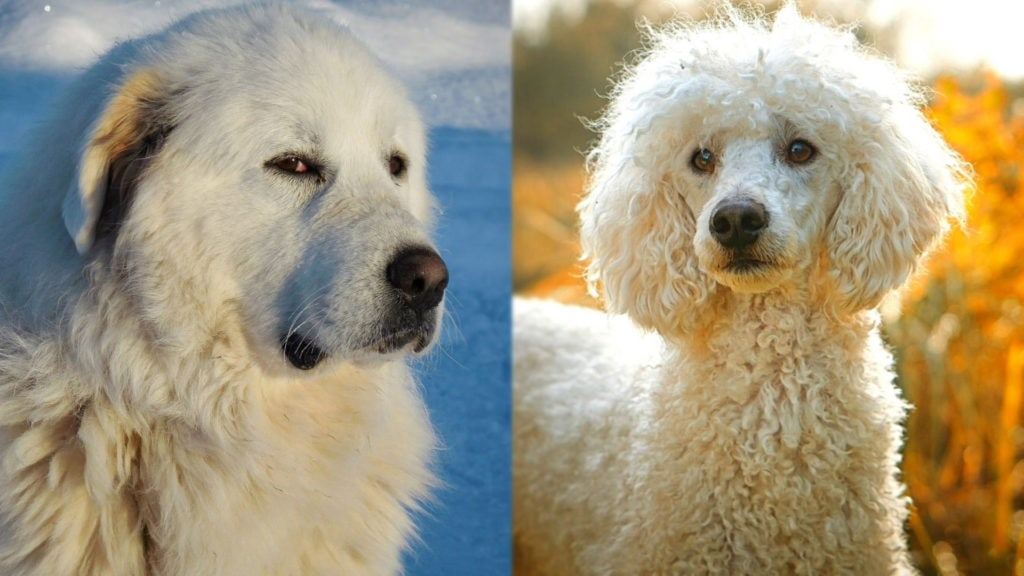 Pyredoodle - Great Pyrenees and Poodle Mix