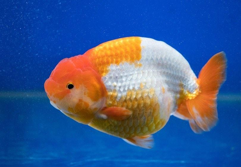 Beautiful,Of,Ranchu,Fancy,Goldfish,In,Fresh,Water,Glass,Tank