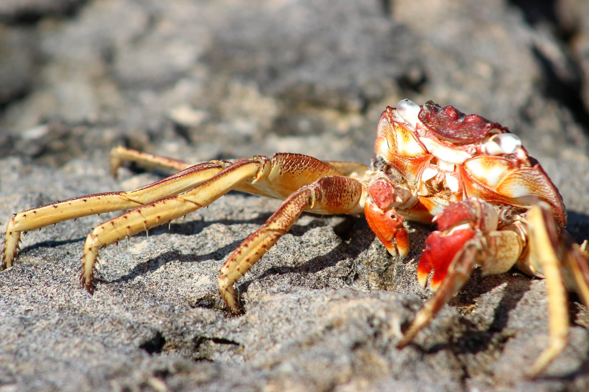 Red Claw Crabs