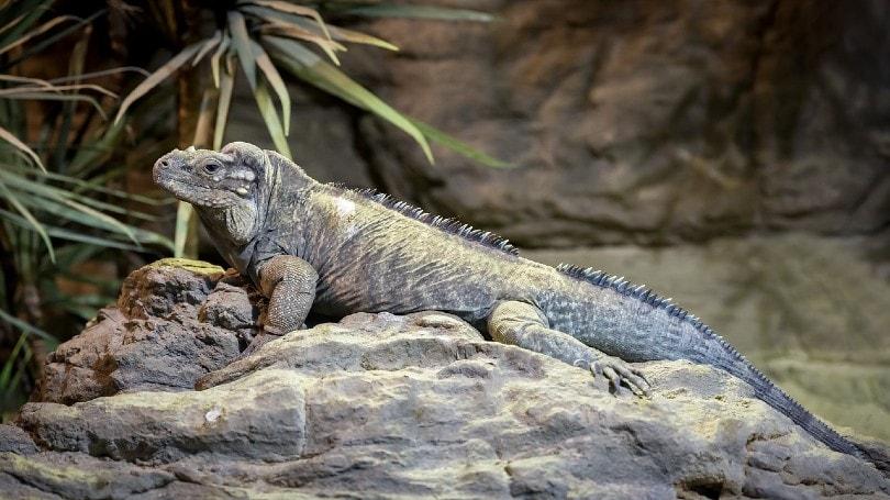 Rhinoceros Iguana on rock