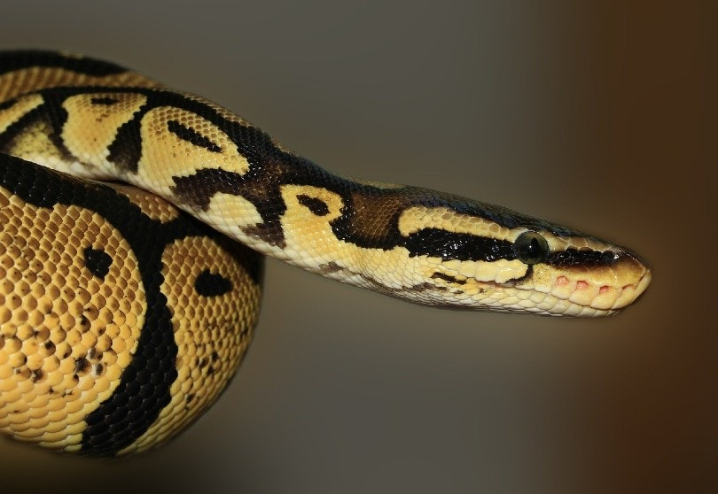 Scaleless Ball Python curled up