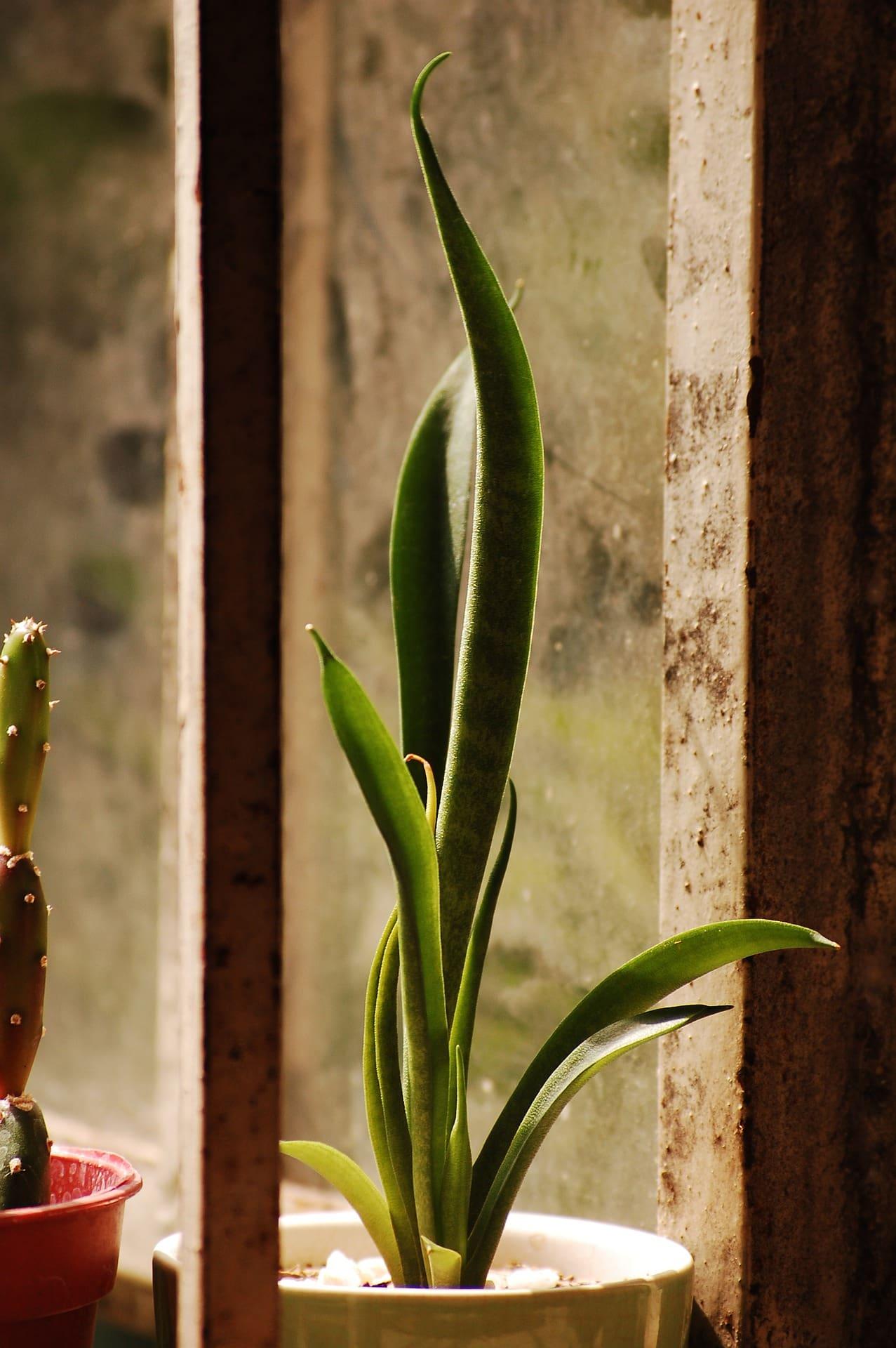 Snake Plant-Pixabay