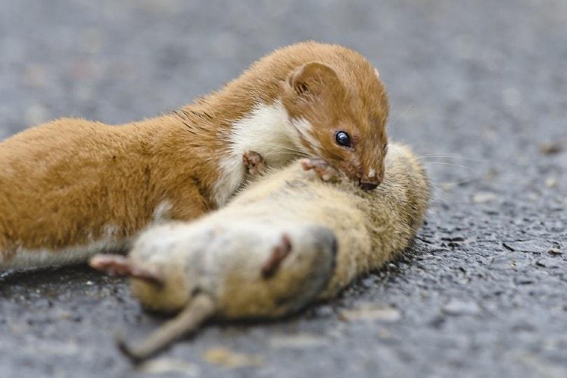 Weasel Mustela nivalis killing big rat