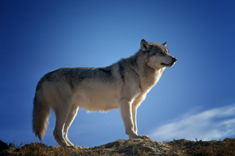 Wolf with blue sky backdrop
